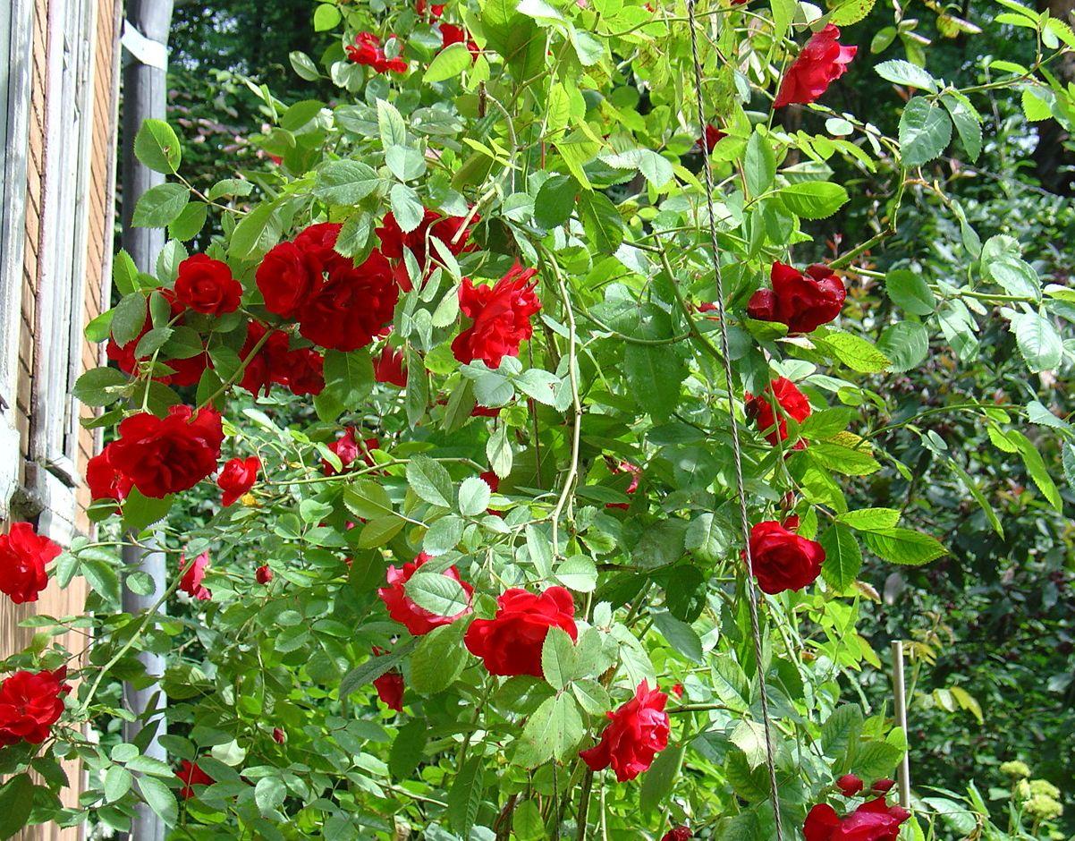 Как размножается плетистая роза 4