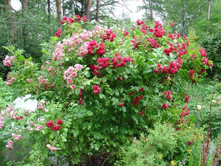 Парковые розы фото где купить в спб часы мужчине подарок
